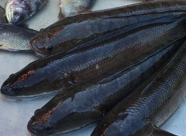 Cá lóc mang tới khá nhiều lợi ích